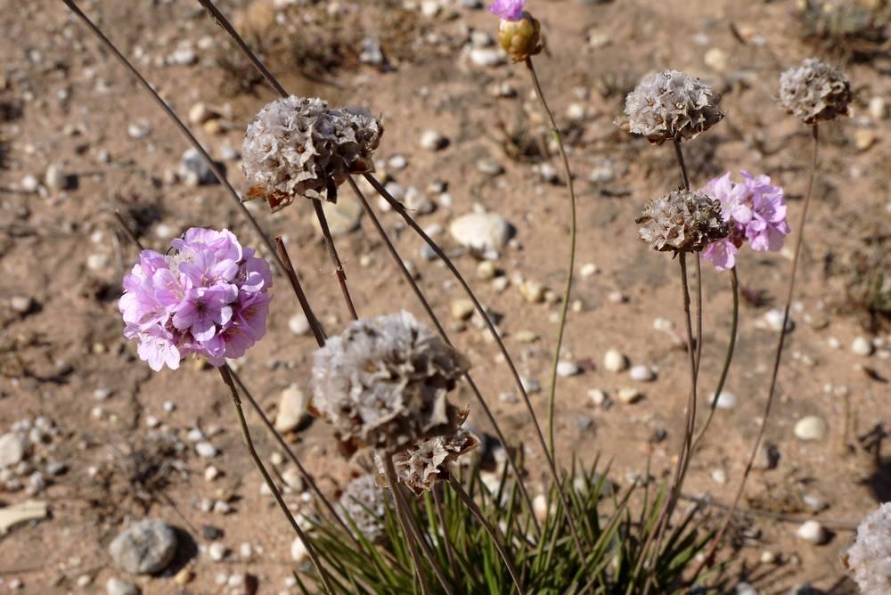 rota vicentina fleurs