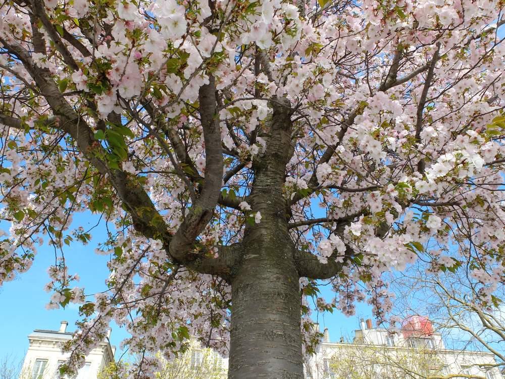 bordeaux-cerisier-fleurs_blog detours du monde