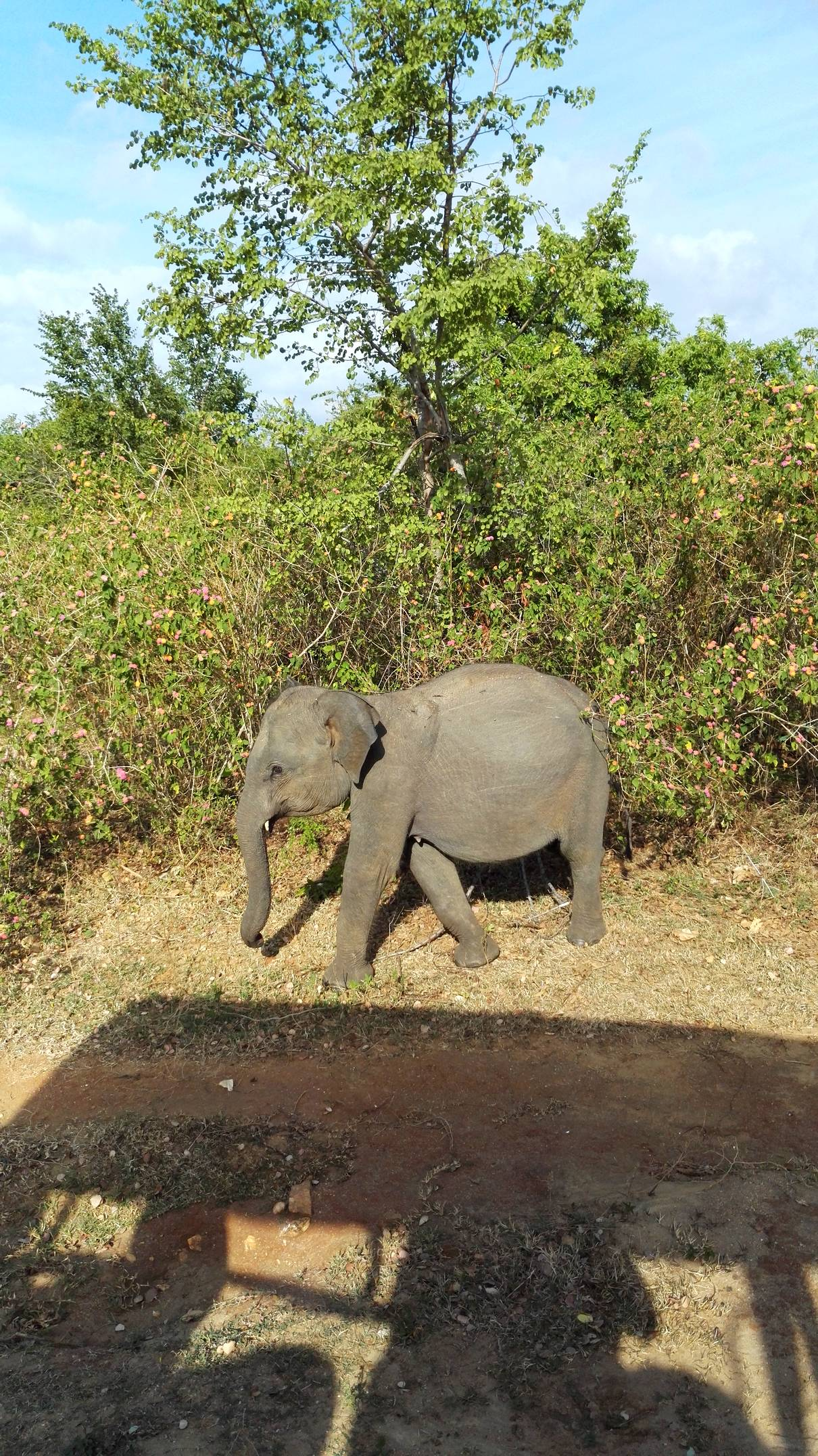 bebe elephant sri lanka
