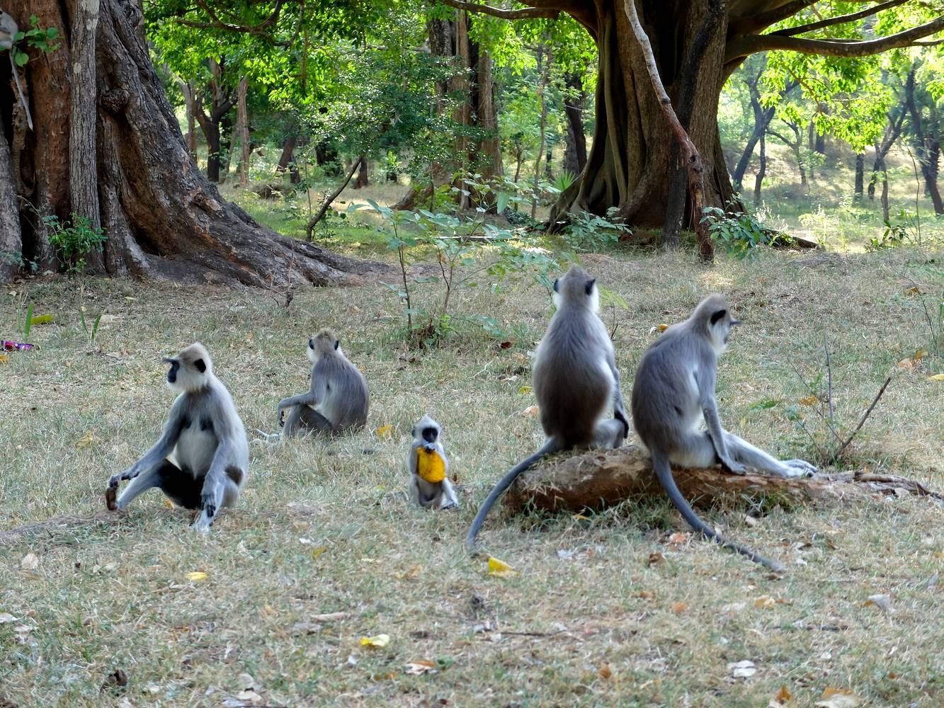 langur macaque sri lanka