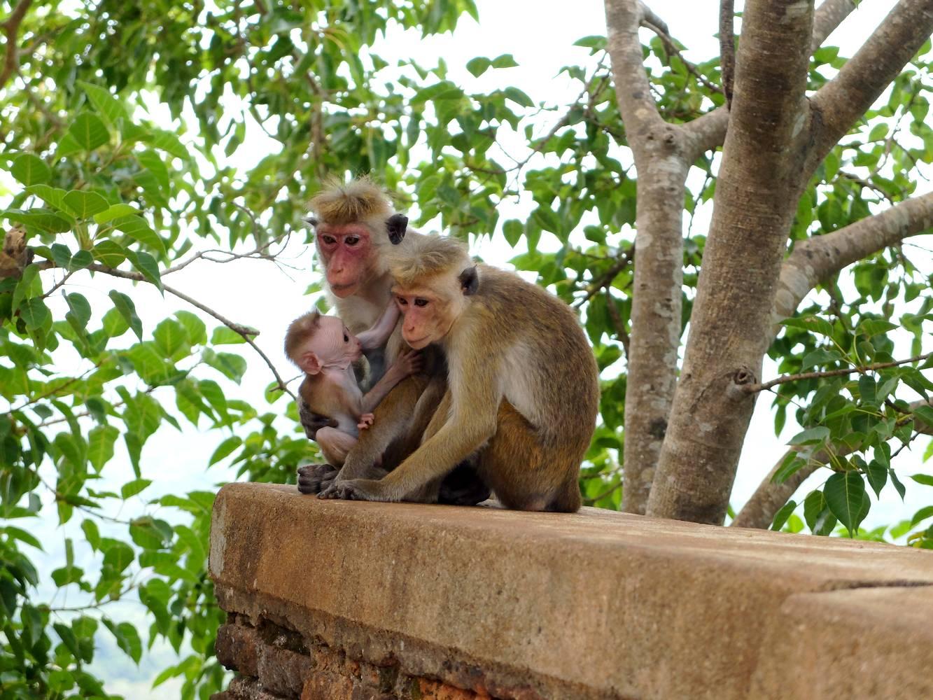 macaques sri kanka