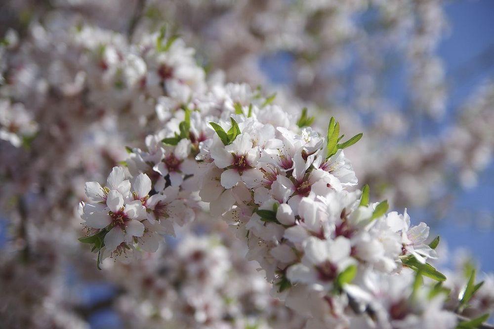 flor amendoeira