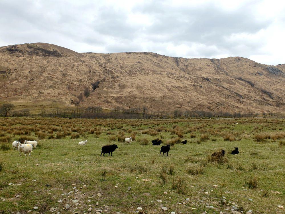 glen coe moutons
