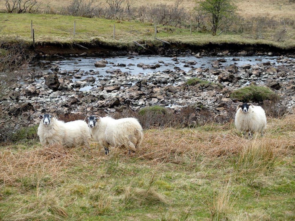 ile skye moutons