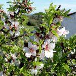 amandiers fleurs algarve